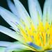 Blue lotus of Egypt