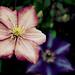cascading flowers [EXPLORED]