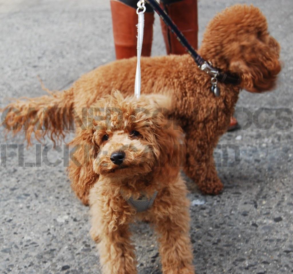 Celebrity dog breeder game