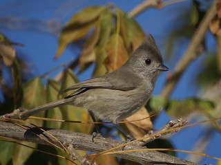 Oak Titmouse | by sannesu