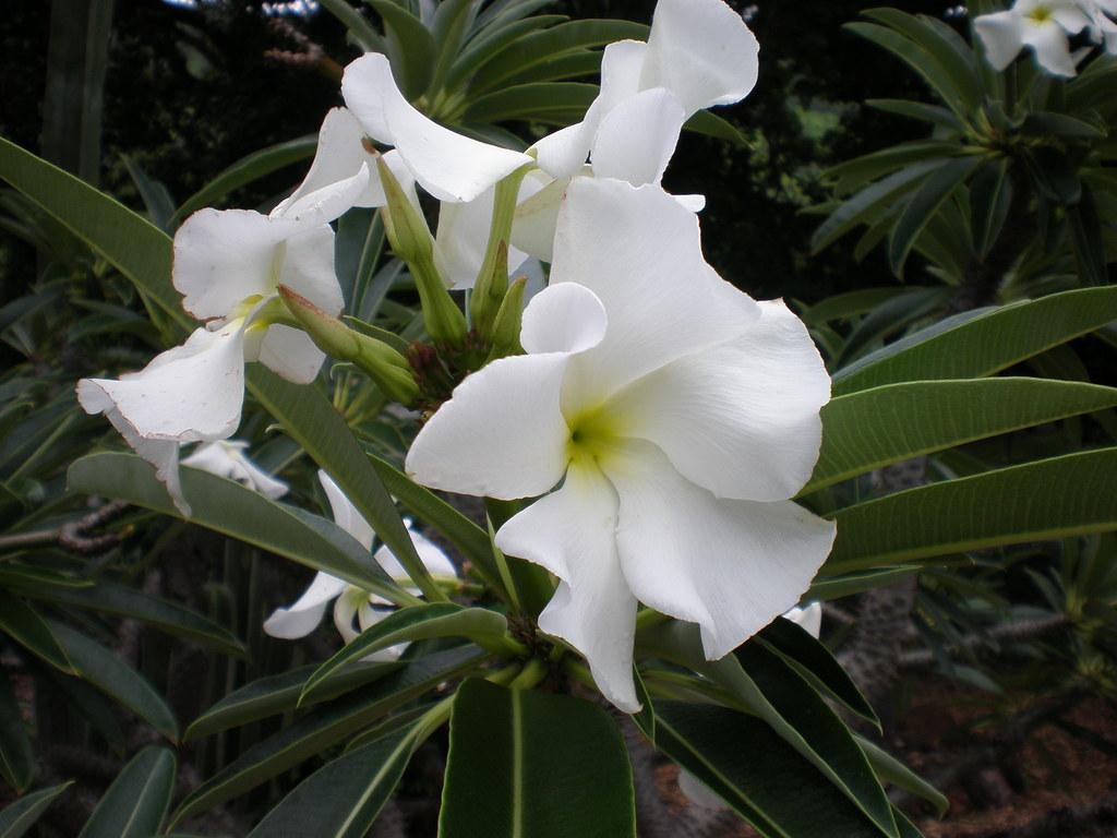 Pachypodium Lamerei Flowers Pachypodium Lamerei Flowers
