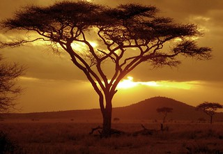 Sunset on Acacia Tree | by NeilsPhotography