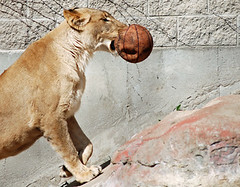 Lion Basketball | by BenSpark