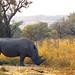 White Rhinoceros (Ceratotherium simum)(Endangered)