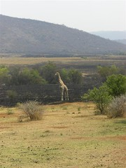 Giraffe in South Africa, Pilanesberg | by schlaeger