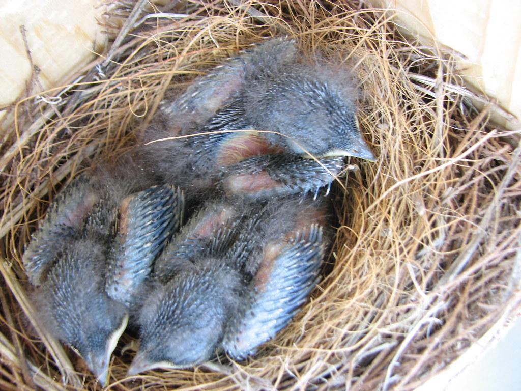 Eastern Bluebird Babies Jd Pandas Flickr