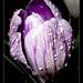 Crocus flower with water drops