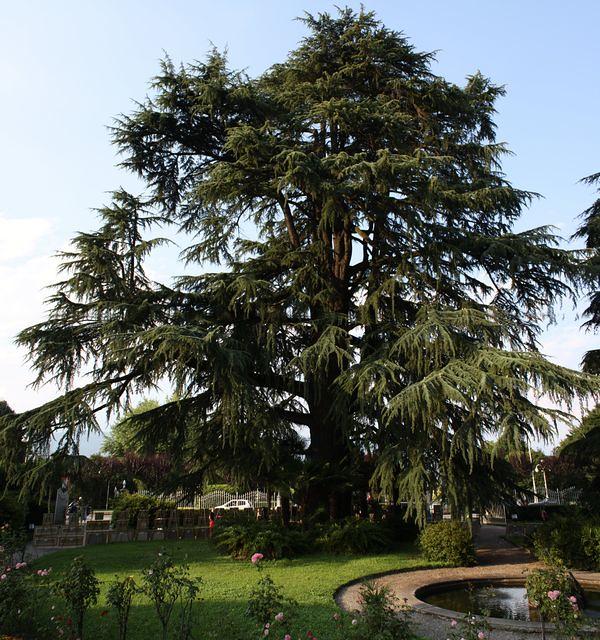 cedro dell 39 himalaya di stresa monumental cedar situato
