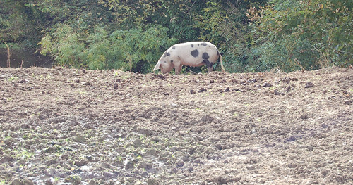 Pig on Hill | by leunix