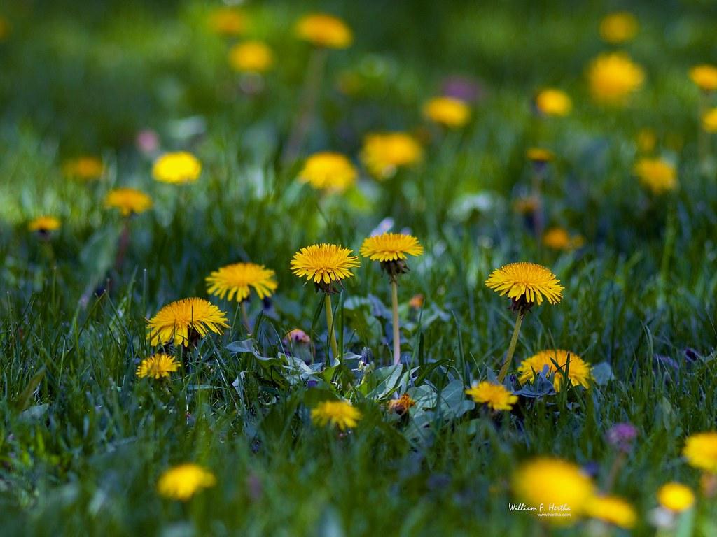Backyard Medow Wild Flowers  Bill Hertha  Flickr