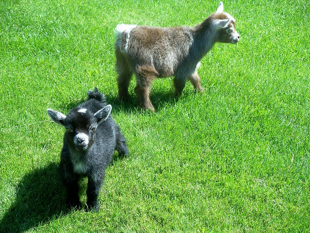 Pygmy Goat Kids. www.TheBigWRanch.com | Flickr - Photo ...