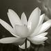 Lotus_Flower_IMGP2452-bw
