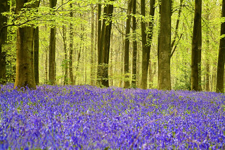 Bluebells in Micheldever Wood, Hampshire | by Anguskirk