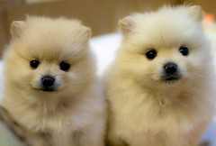 Pomeranian Puppies | by sir_mencius