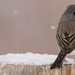 Dark-Eyed Junco - Slate Colored15
