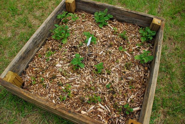 Potato Square Foot Garden Sfg Flickr Photo Sharing
