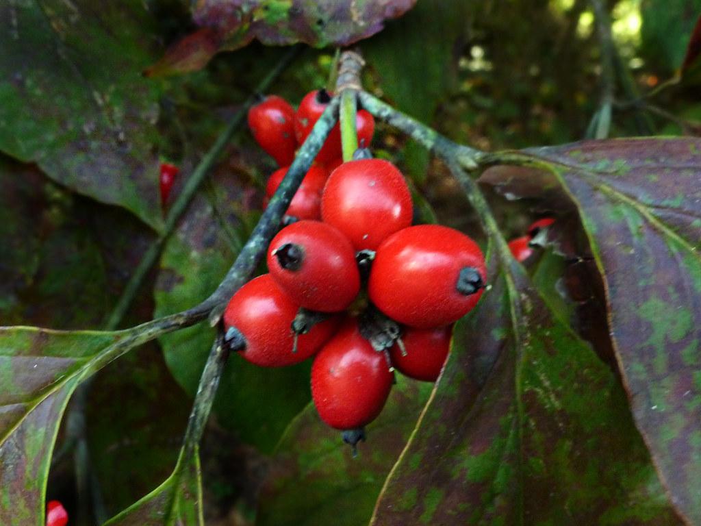 Cornaceae Cornus Florida Flowering Dogwood Berries