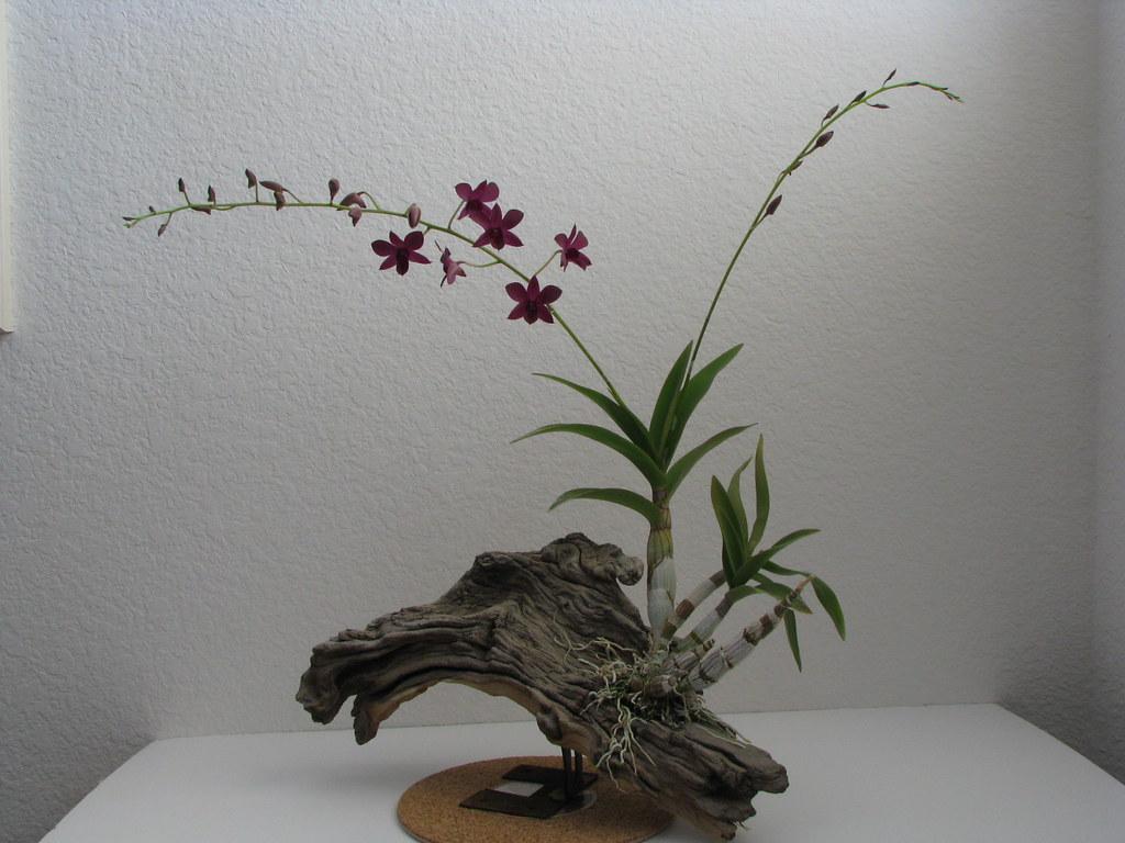 Dendrobium Noid Mounted On Driftwood John Lauchang Flickr