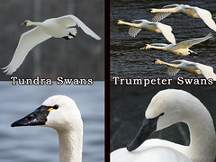 Tundra and Trumpeter Swans | by Northern Community Radio