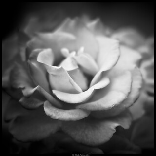 White Rose | by Konaflyer