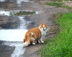 village red cat