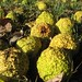 Hedge Apples / Osage Oranges