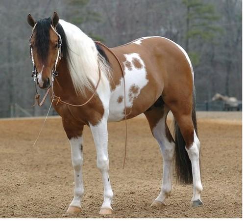 dun paint horse   kiwibabi   Flickr