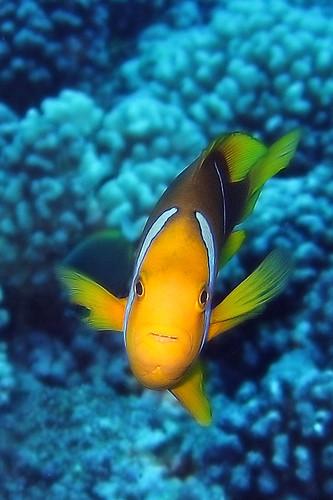 Clown fish in bora bora flickr photo sharing for Bora bora fish