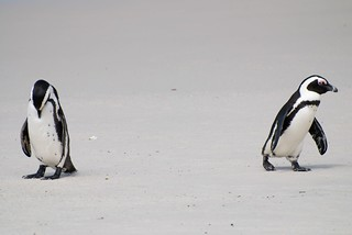 African penguins, Boulders Beach DSC_2053_edited-1 | by ClifB