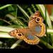 Mariposa Pavo Real / Tropical Buckeye