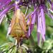 Percevejo‑dos‑ombros‑comum // Stink Bug (Carpocoris fuscispinus)
