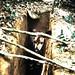 Okapi in pit