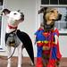 Batdog & Superpuppy Keeping a Watchful Eye over El Cerrito 1 of 3