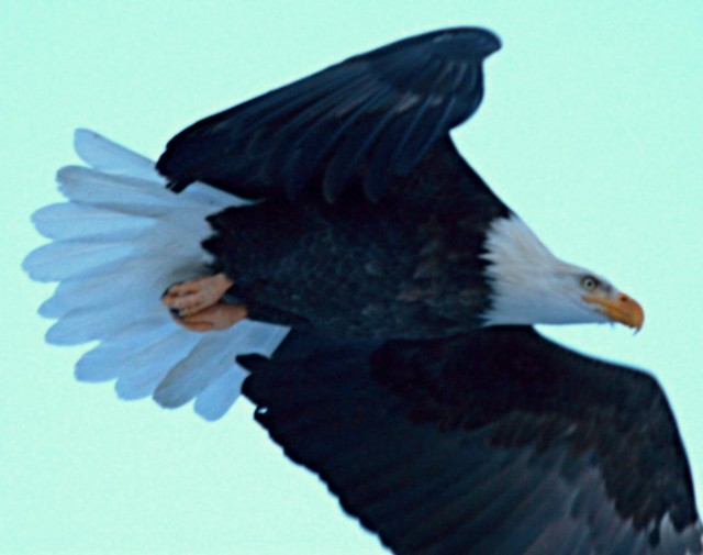 Eagle in flight I | by Alaskan Dude