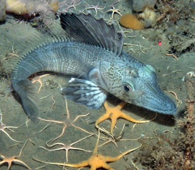 Eisfisch | The Antarctic ice fish has not red blood ...