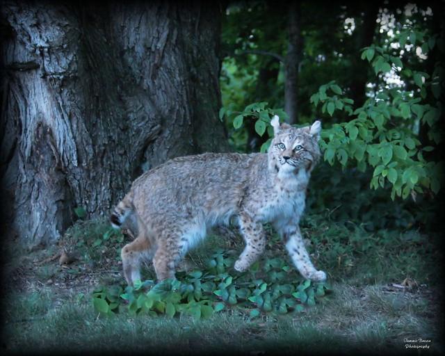 Kentucky Bobcat  Tammie Brown  Flickr