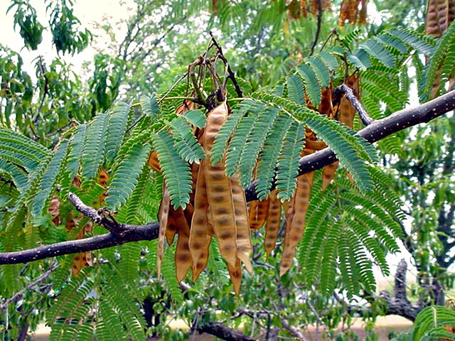 Mimosa tree   Mimosa tree with seed pods, Ardmore ...