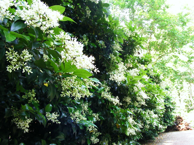 Privet Hedge In... Glossy Privet Tree