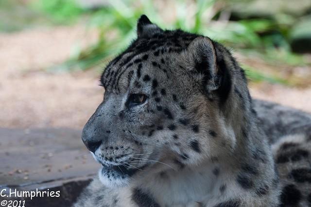 Paradise Wildlife Park: Snow Leopard | Flickr - Photo Sharing!
