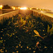 Swiss Chard seeds growing at night