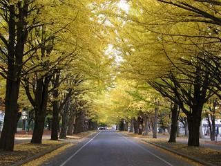 北海道大學銀杏道 @ 2008-10-30