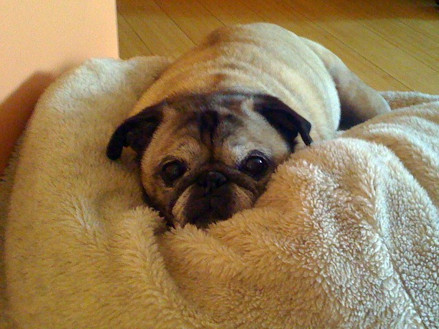 Image Result For Pug In A