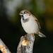 House Sparrow ( Adult )