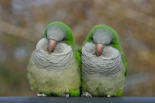 Pair of Quaker Parrots | by Dr.DeNo