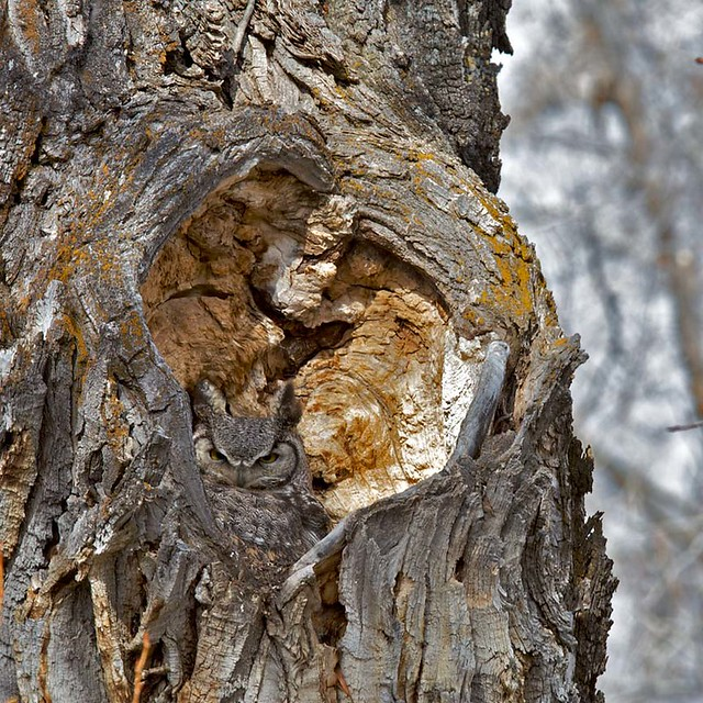Owl Nests Pictures Great Horned Owl Nest | by