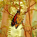 Butterfly in Kowhai