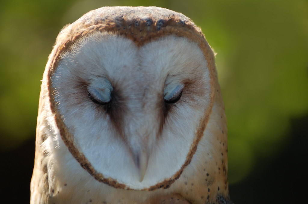Barn Owl Eyes Closed Hawkquest Hawkquest Is A
