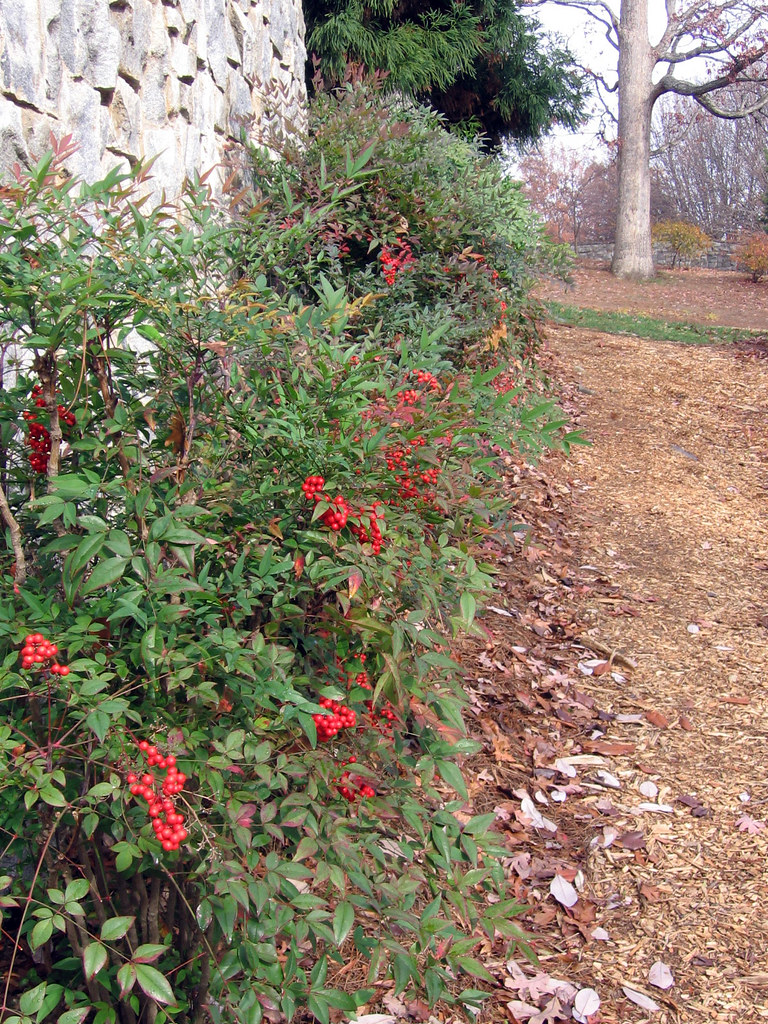 Landscaping Shrubs With Red Berries : Bushes with red berries at the