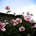 Korea's Beautiful Flower