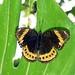 Hypolimnas Octocula Octocula/femelle/ Endémic subspecie/ Vanuatu